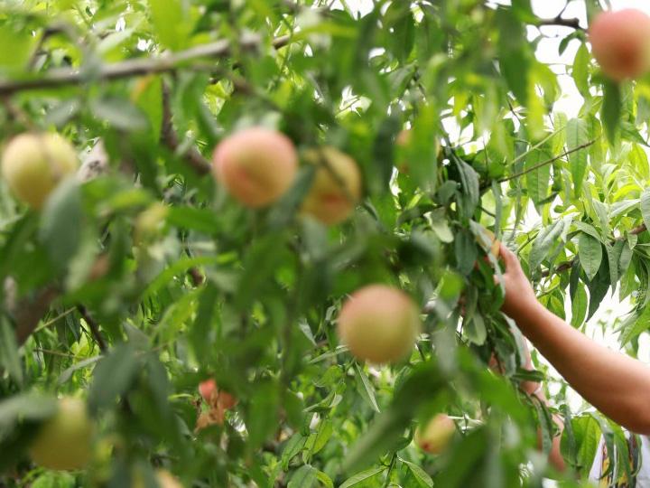 阳山水蜜桃